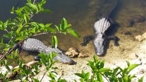 Everglades, Big Cypress Oasis